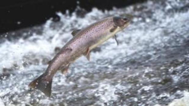 Salmon jumping in a Scottish river