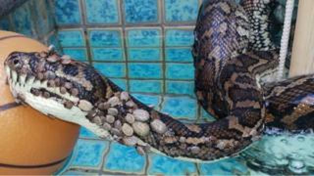 Carpet python from Coolangatta
