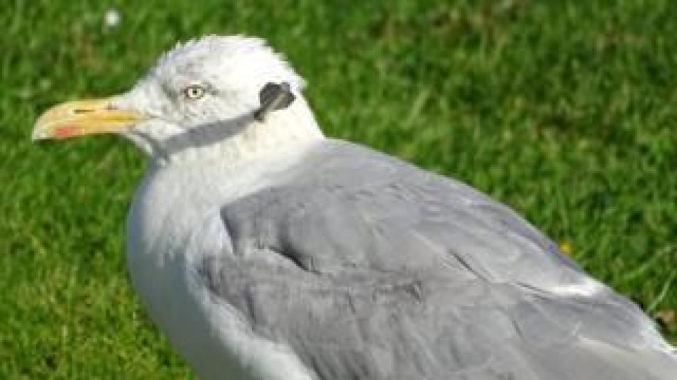 Injured seagull
