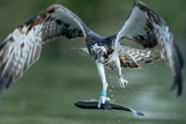 Osprey in flight with a trout in its claws