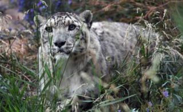 A picture taken on August 7, 2017 shows a snow leopard at the NABU center in Kyrgyzstan