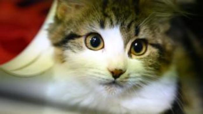 A cat awaiting adoption looks out of its cage at the Royal Society for the Prevention of Cruelty to Animals (RSPCA)