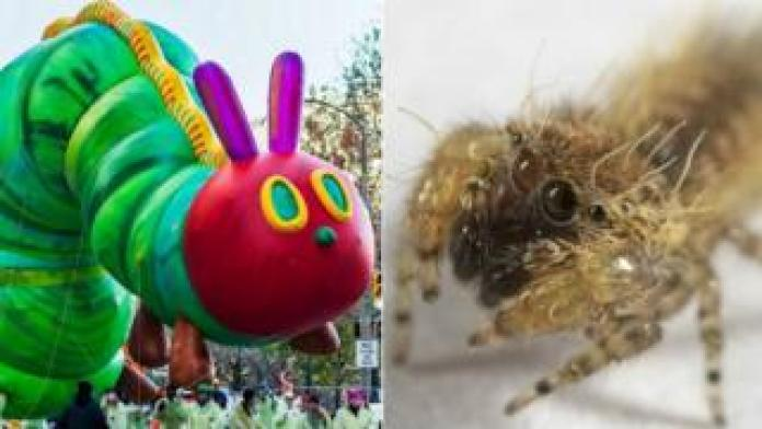 The Very Hungry Caterpillar and jumping spider Uroballus Carlei