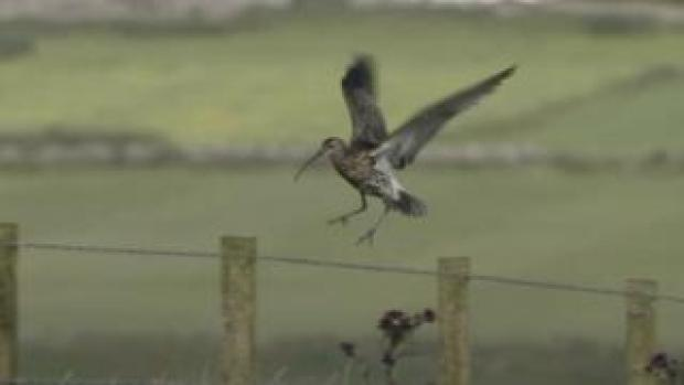 Curlew landing on a fence