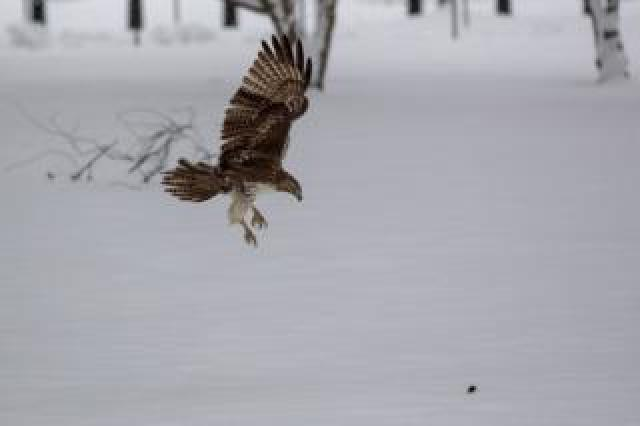 A hawk dives to catch prey in the snow on the National Mall