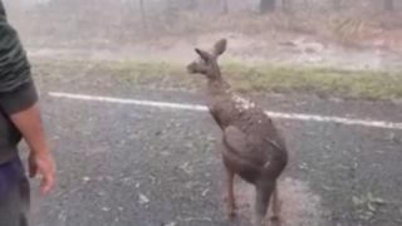 A kangaroo with hail on its back after a severe storm hit parts of Queensland
