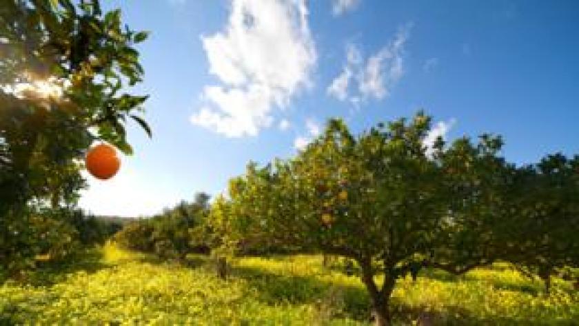 Campo con naranjos
