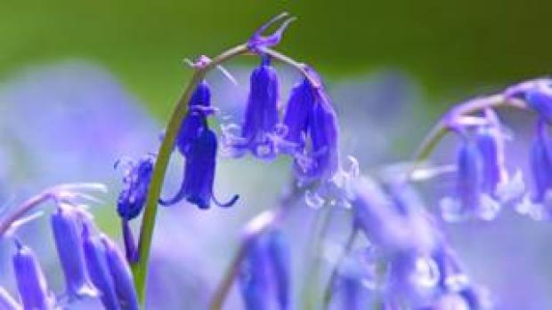 British bluebell