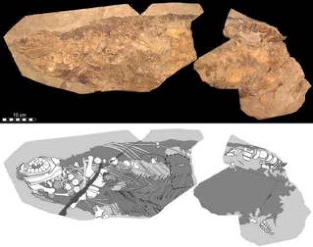 Ichthyosaur specimen