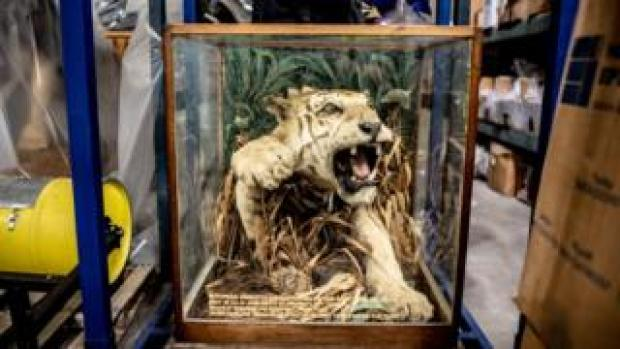 Stuffed tiger in an aggressive pose in a frame highlighting that this was apparently a man-eating big cat