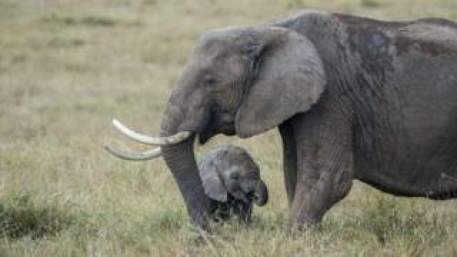 African elephant stands in front of a baby elephant on the open grassy plain