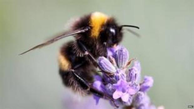 Bumblebee (Image: BBC)