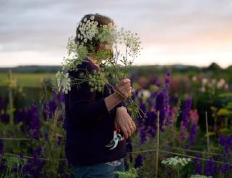 Ammi magus, Binnington Blooms, North Yorkshire
