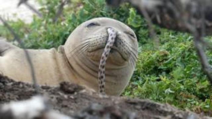 Una foca monje hawaiana juvenil fue encontrada con una anguila manchada en su nariz en French Frigate Shoals en las islas del noroeste de Hawai el verano pasado