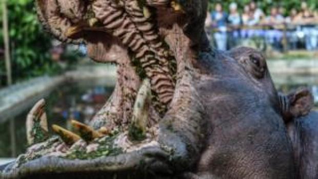 Pepa the hippo in Medellin, Colombia