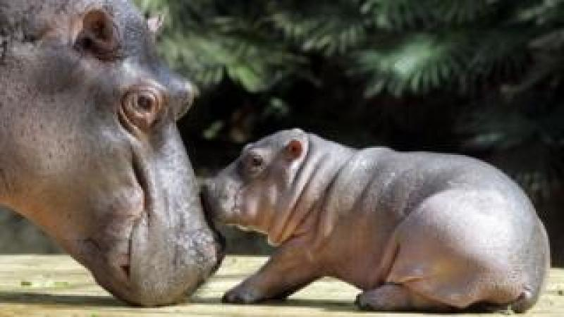 Hippopotamus baby Gregor (r) is caressed by his mother Nicole on 15 August 2005 at the zoo in Berlin