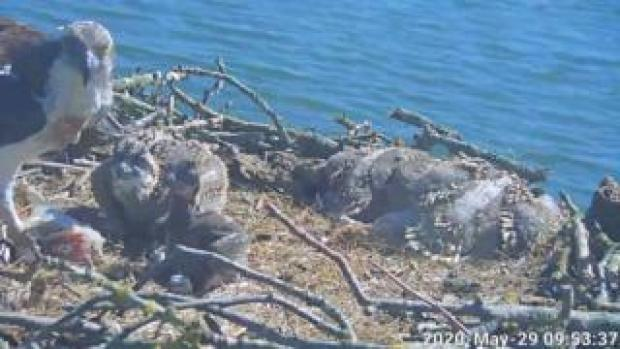 Webcam showing young ospreys at Rutland