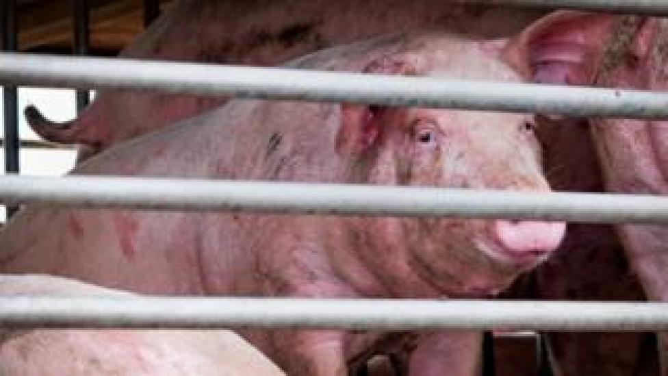 pig transported