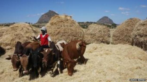 An Ethiopian farmer using oxen to harvest teff