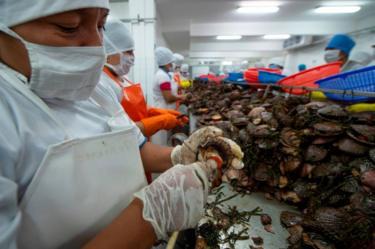 Trabajadores en una planta de procesamiento de marisco en Sechura, región de Piura, a 1.100 km de Lima, el 10 de diciembre de 2018.