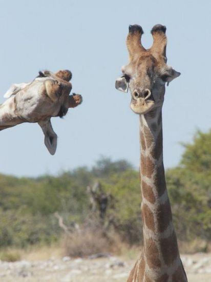Uma girafa se esguelha para sair na foto