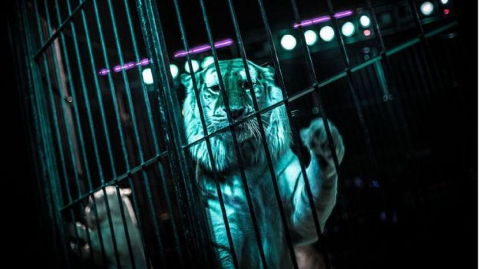 Orfei Circus tiger