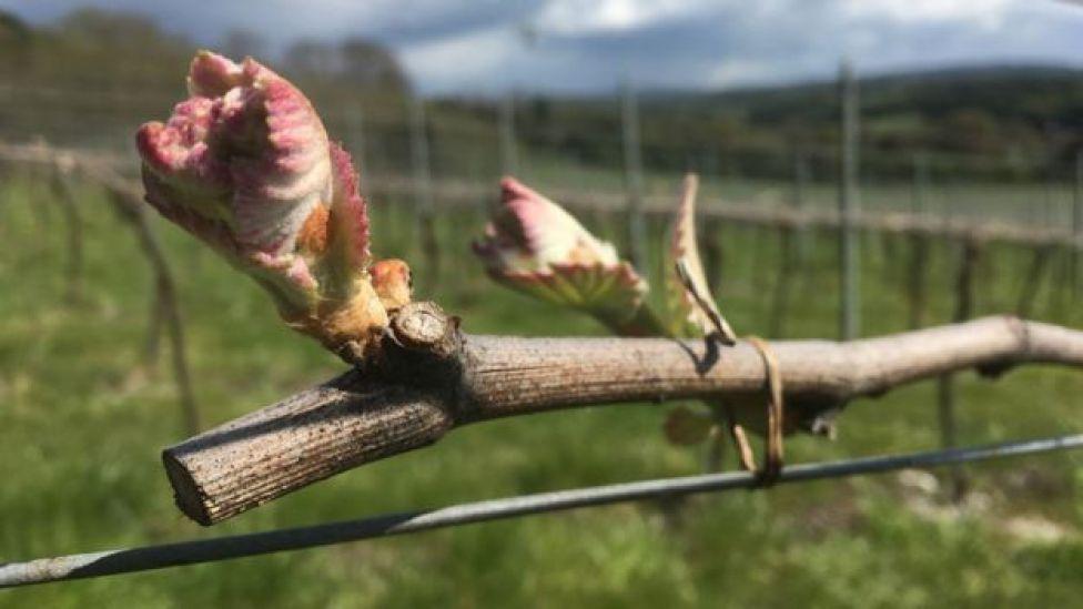 A healthy bud at Albury Vineyard