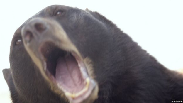 A bear with its mouth wide open