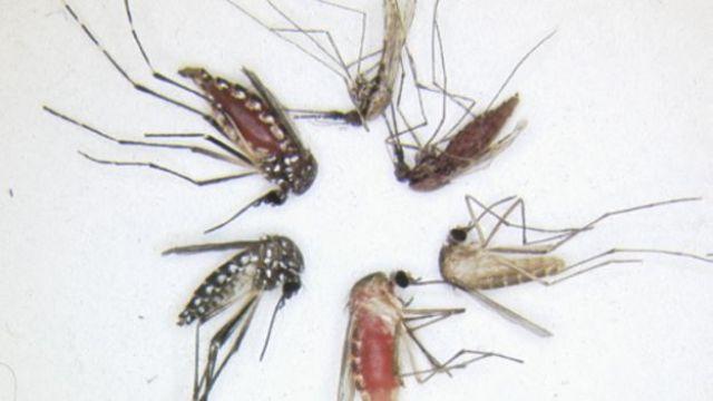 Imagens de mosquitos mortos - Anopheles gambiae, Culex pipiens e Aedes aegypti