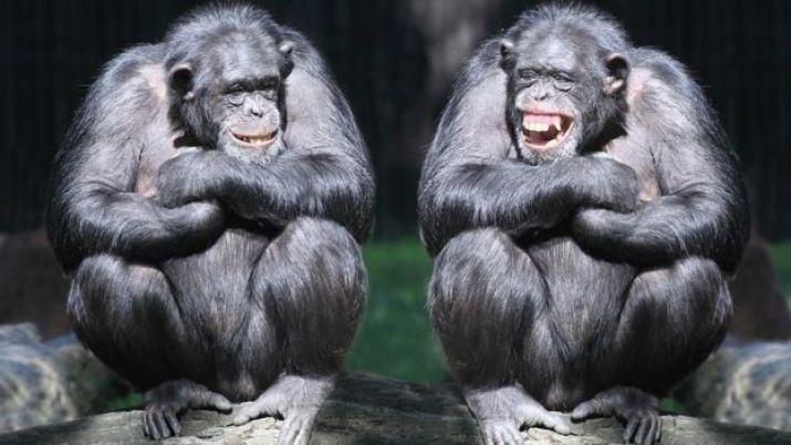 İki gülen şempanze