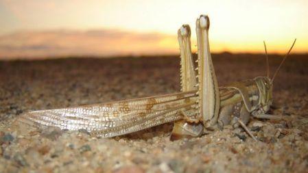 Gafanhotos do deserto