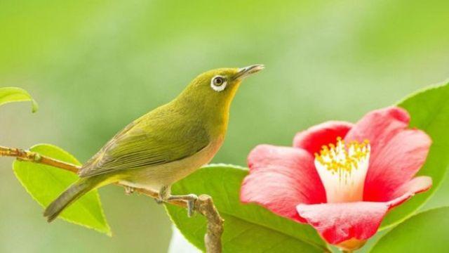 Pássaro japonês do olho-branco