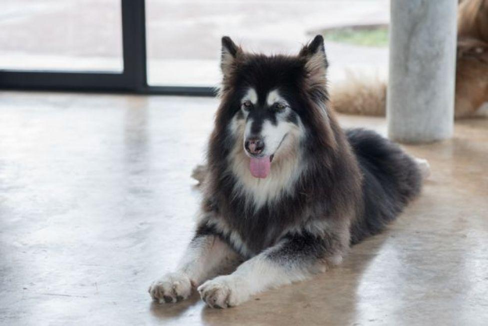 Un perro de raza Alaskan Malamute en una oficina de Google.