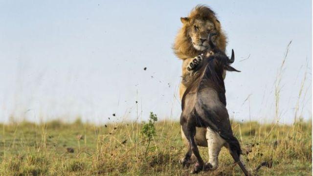 León ataca a un Ñu