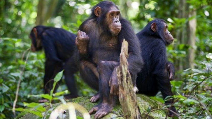 kayaya oturan şempanzeler