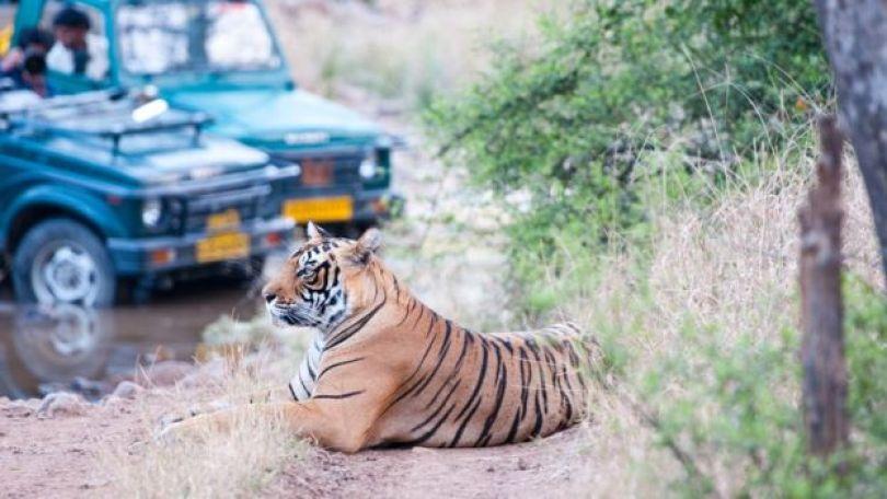 Tigre sentado com carro e pessoas observando atrás