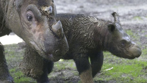 A baby Sumatran rhino with mum