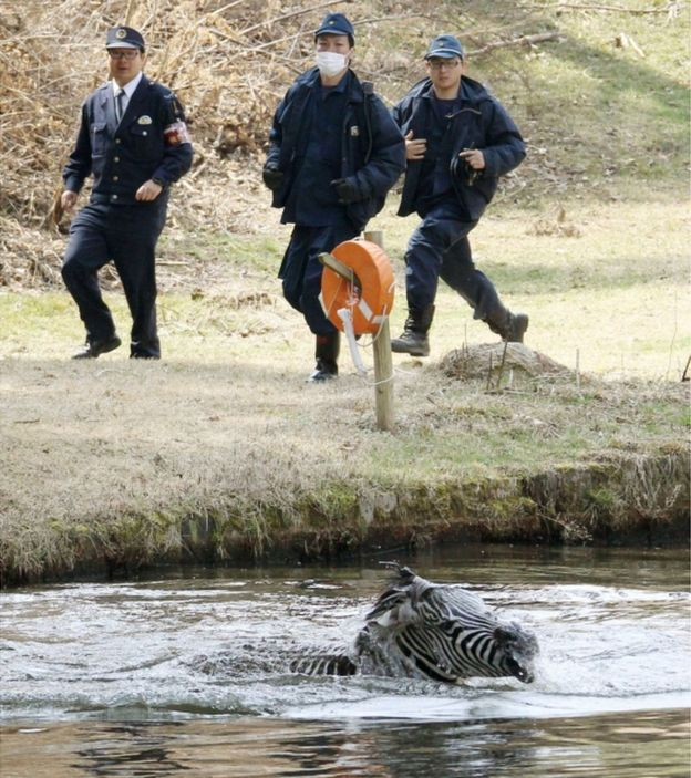 A zebra struggles in a lake after it was shot with a tranquilizer dart and ran into the lake on a golf course in Toki, Gifu prefecture, central Japan Wednesday, 23 March 2016.