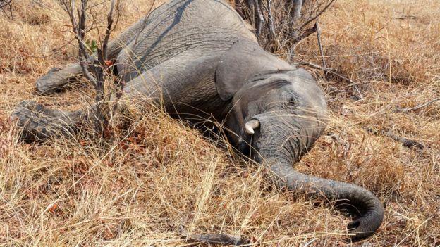 Foto de banco de imagens de elefante morto no parque nacional de Hwankee, em Botsuana