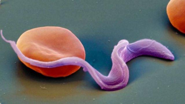 صورة تخيلية للطفيلي وهو يخترق الخلايا