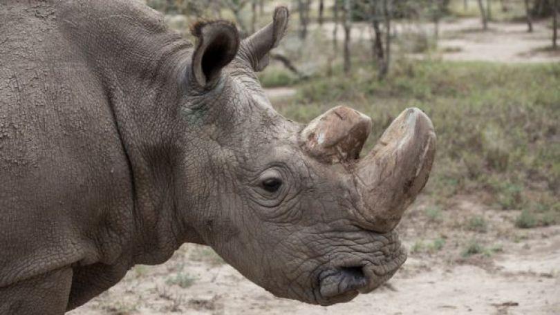 O rinoceronte Sudan, da subespécie branca do norte