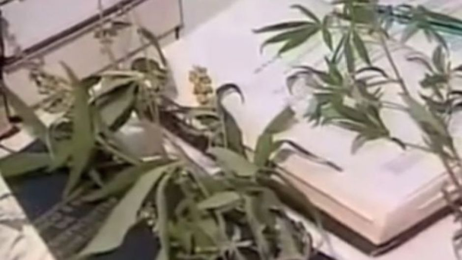 Após serem apreendidas, as plantas de maconha de Cruzeta foram incineradas