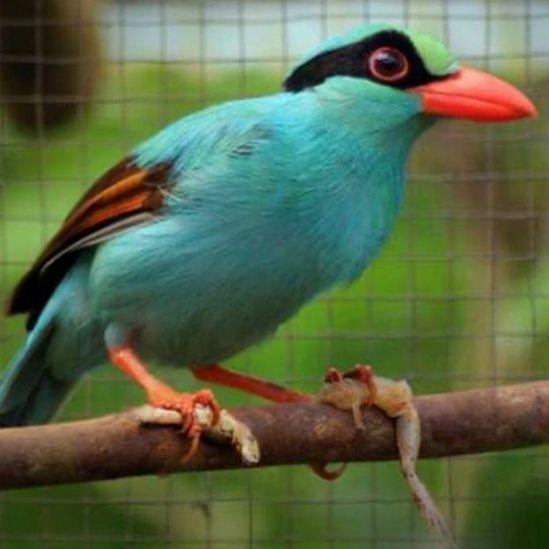 Urraca colicorta sin su pigmentación verde natural.