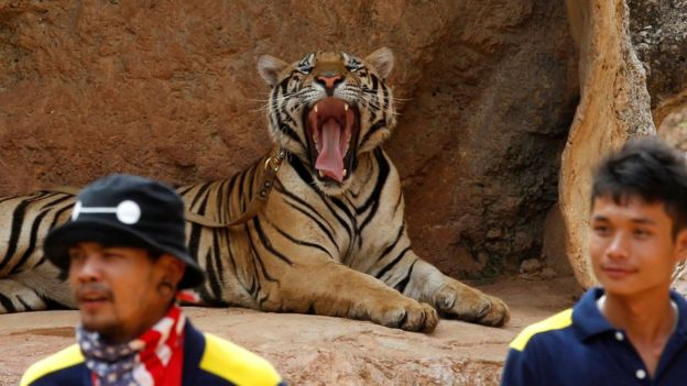 A tiger yawns before the officials start moving them from Thailand