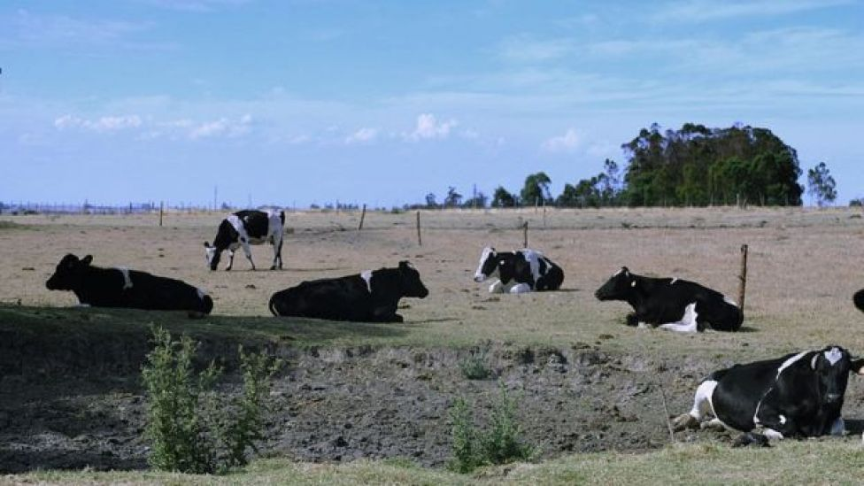 Vacas en el campo uruguayo.