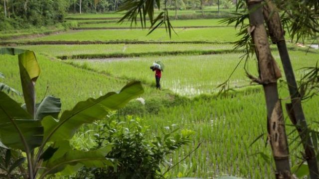 A farmer walks through a paddy field in the village where Siti Aisyah, the Indonesian women arrested in connection with the assassination of Kim Jong-nam, was raised on February 27, 2017 in Serang,