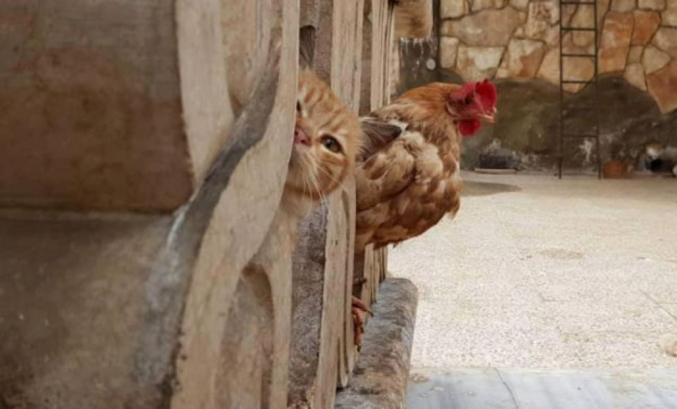 Cat and cockerel
