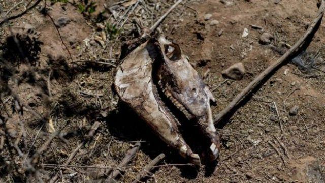 Ossada de animal morto durante a seca no Chile