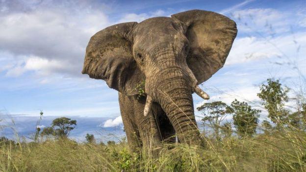 Um elefante do Parque Naciona Hwange