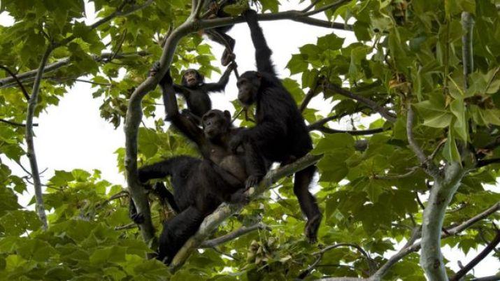 Ağaçta oturan bir şempanze ailesi